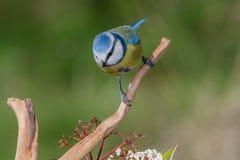 Caeruleus van vogelcyanistes in het wild Royalty-vrije Stock Fotografie