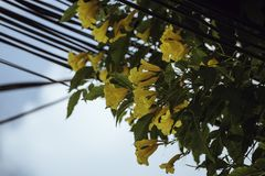 Caesalpinia amarelo com o fundo do céu azul foto de stock