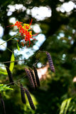 Caesalpinia bird of paradise flower in the Caribbean Tobago Stock Photography