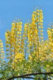 Caesalpinia decapetala Royalty Free Stock Images