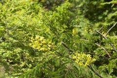 Caesalpinia decapetala w ogródzie Fotografia Royalty Free