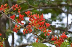Caesalpinia Flower plant. Caesalpinia is a genus of flowering plants in the legume family, Fabaceae. Historically, membership within the genus has been highly royalty free stock photo