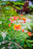 Caesalpinia Stock Image
