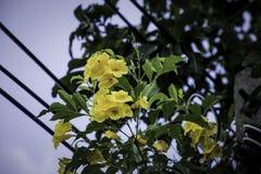 Caesalpinia giallo con i precedenti del cielo blu fotografie stock