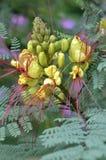 Caesalpinia gilliesii flowers Stock Photography