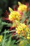 Caesalpinia Gilliesii plant Stock Image