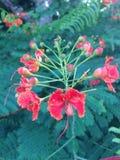 Caesalpinia Orange flower Stock Image