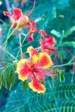 Caesalpinia Orange flower Stock Photos