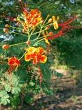 Caesalpinia Pulcherrima 2 Stock Images