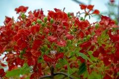 Caesalpinia pulcherrima in beautiful nature stock images