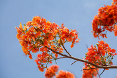 Caesalpinia Pulcherrima with blue sky Stock Photography