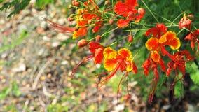 Caesalpinia pulcherrima Blumen-Hintergrundunschärfe Lizenzfreie Stockfotografie