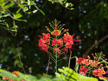 Caesalpinia Pulcherrima with blur background Stock Image