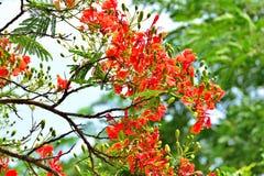 Caesalpinia pulcherrima. Royalty Free Stock Photos