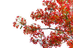 Caesalpinia pulcherrima Flame Tree flower, isolated Stock Photos