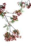 Caesalpinia pulcherrima Flame Tree flower Stock Photo