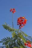Caesalpinia pulcherrima flower Stock Photography