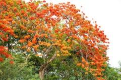 Caesalpinia pulcherrima flower Royalty Free Stock Photography