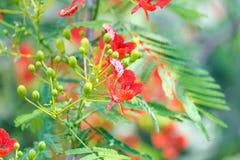 Caesalpinia pulcherrima flower Royalty Free Stock Image
