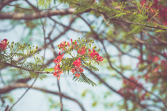 Caesalpinia pulcherrima flower in vintage retor color tone Royalty Free Stock Photo