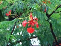 Caesalpinia Pulcherrima, königliches Poinciana, Flammen-Blume, Delonix lizenzfreie stockbilder