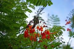 Caesalpinia pulcherrima Stock Image