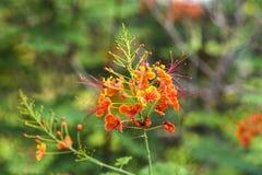 Caesalpinia pulcherrima lub Królewski kwiat w ogródzie Poinciana lub Pawiego Kambodża Fotografia Royalty Free