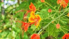 Caesalpinia pulcherrima rote und gelbe Blume Stockfoto
