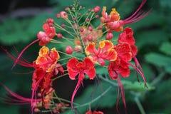 Caesalpinia pulcherrima Royalty Free Stock Photos