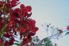 Caesalpinia pulcherrima Sw. A bunch of red flower blur sky background Royalty Free Stock Photography