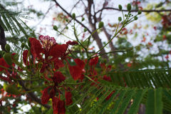 Caesalpinia pulcherrima Sw. Red Poinciana blooming in bokeh and green leaf royalty free stock images