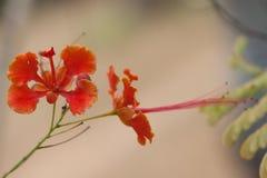 Caesalpinia pulcherrima Royalty Free Stock Image