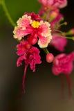 Caesalpinia pulcherrina, family name Fabaceae, common name Peaco. Ck flower, Pride of Barbados Stock Photography