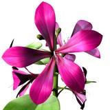 Caesalpiniaceae Stock Photo
