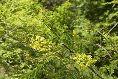 Caesalpiniadecapetala in tuin Royalty-vrije Stock Fotografie