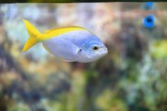 Caesio teres oryellow and blueback fusilier. This fusilier grows up to 40 cm. Its body is fusiform or spindle-shaped and its caudal fin is forked. The mouth is Royalty Free Stock Photos