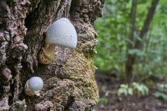 Caesiotincta della volvaria Fungo commestibile, crescente sull'albero immagini stock libere da diritti