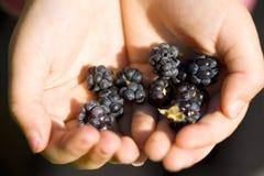 Caesius Dewberry.JH do Rubus Foto de Stock