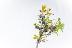 Caespitosum Vaccinium голубики карлика Стоковая Фотография