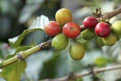 Café-árbol. Guatemala Foto de archivo