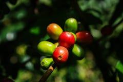 Café-árvore guatemala Fotografia de Stock
