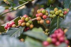 Café crudo del primer en árbol en jardín de la agricultura Imagen de archivo libre de regalías