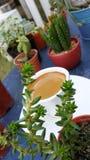Café d'expresso dans la tasse blanche parmi le mini cactus Image libre de droits