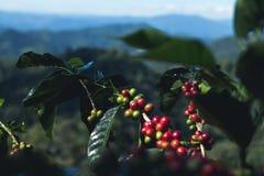 Café da goma-arábica da boa qualidade na montanha alta Em 3Sudeste Asiático Fotos de Stock