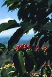 Café da goma-arábica da boa qualidade na montanha alta Em 3Sudeste Asiático Foto de Stock Royalty Free