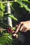 Café da goma-arábica da boa qualidade na montanha alta Em 3Sudeste Asiático Imagem de Stock Royalty Free