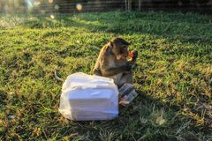 Café da manhã de agarramento de Camboja Siem Reap Angkor Wat Monkey foto de stock