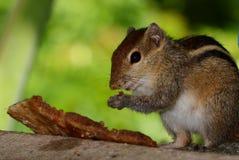 Café da manhã do esquilo Imagens de Stock