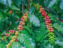 Café en árbol Fotografía de archivo libre de regalías