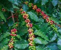 Café en árbol Imagen de archivo libre de regalías